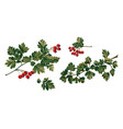 hawthorn branches and red berries vector image vector image