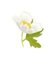 anemone snowdrop favorite garden plant vector image