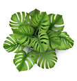 monstera plant in a pot top view vector image vector image