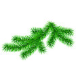 green fluffy fir pine twig isolated on white vector image vector image