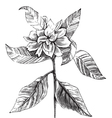 common gardenia engraving vector image vector image