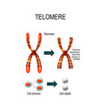 telomere for scientific medical vector image vector image