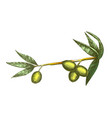color cosmetic ingredient olive branch vintage vector image
