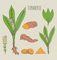 turmeric medical botanical isolated vector image