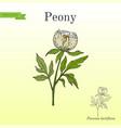 chinese peony paeonia lactiflora medicinal plant vector image vector image