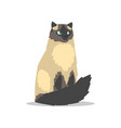 purebred long-haired birman cat with blue eyes vector image vector image