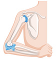 Elbow joint in human body vector image vector image