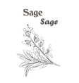 Sage herb spice Sketch drawing of a sage vector image vector image