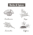 Herbs and spices saffron sage lavender cardamom vector image