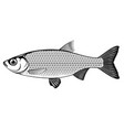rudd fish black and white vector image vector image