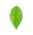 green leaf juicy from the vector image vector image
