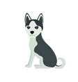 cute siberian husky purebred sit front view dog vector image