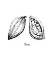 hand drawn of theobroma cacao fruits on tree bunch vector image