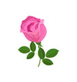 beautiful pink rose blossom isolated on white vector image