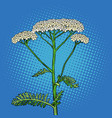 yarrow milfoil flower medicinal plant achillea vector image vector image
