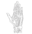 hand dorsal muscles vector image vector image