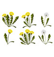 set of dandelions on white background vector image