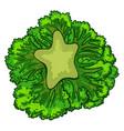 broccoli cabbage icon cartoon style vector image