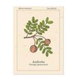 andiroba carapa guianensis medicinal plant vector image vector image