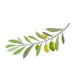 olive branch tree isolated leaf olive food green vector image
