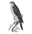 sparrow hawk vintage