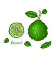 hand drawn of bergamot isolated on vector image