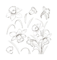 Set of line drawing narcissus vector image