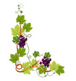 vine twigs and grape bunches isolated icon vector image vector image