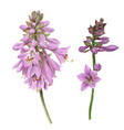 delicate violet hosta flowers hand drawn vector image vector image