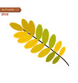 autumn acacia leaf isolated on a white background vector image vector image