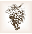 Bunch of grapes hand drawn sketch style vector image