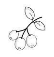 line coffee plant with leaves and grains vector image vector image