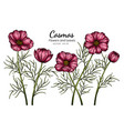 red cosmos flower and leaf drawing with line art vector image vector image