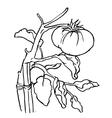 Tomato Graphics vector image