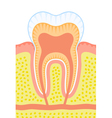 Internal structure of tooth vector image