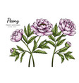 pink peony flower and leaf drawing with line art vector image
