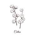 sprigs of cotton sketch vector image