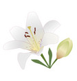 white tiger lily with burgundy spots flower bud vector image vector image