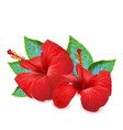 flowers red hibiscus on white background vector image vector image