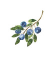 a branch blueberries hand drawn in watercolor vector image