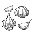 Garlic with slices isolated on white background vector image vector image