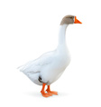 Goose farm animals vector image