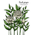 white torch ginger flower and leaf drawing vector image vector image