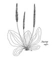 ink drawing plant of plantain vector image vector image