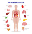 human anatomy infographic elements with set of vector image vector image