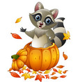 cartoon raccoon in a pumpkin vector image vector image