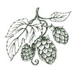 outline sketch of hops branch vector image vector image