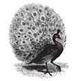 peacock vintage vector image vector image