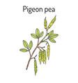 pigeon pea cajanus cajan medicinal plant vector image vector image