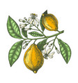 hand drawn citrus fruits - lemon branch sketch of vector image vector image